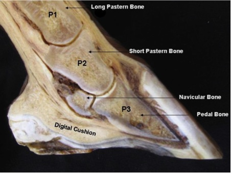 Hoof Anatomy A Beginners Guide The Equine Podiatry Association